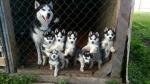 Чистокровные щенки Сибирской Хаски