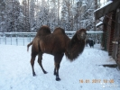 Верблюд двугорбый (самец)