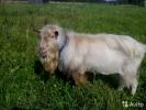 Зааненский козел производитель