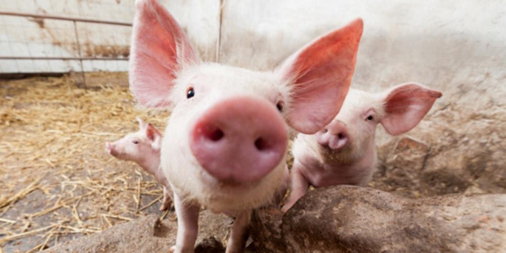 Свинокомплекс в Лужском районе скоро сменит владельца